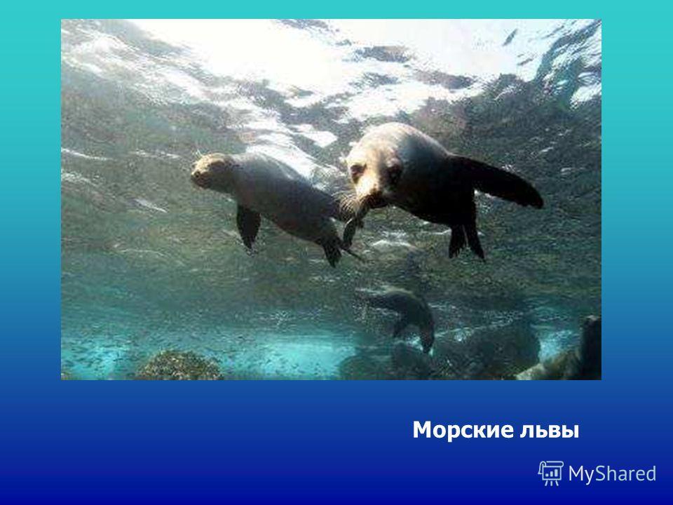 Морские львы Морские львы.