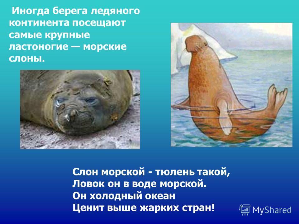 Слон морской - тюлень такой, Ловок он в воде морской. Он холодный океан Ценит выше жарких стран! Иногда берега ледяного континента посещают самые крупные ластоногие морские слоны. Слон морской - тюлень такой, ловок он в воде морской. Он холодный океа