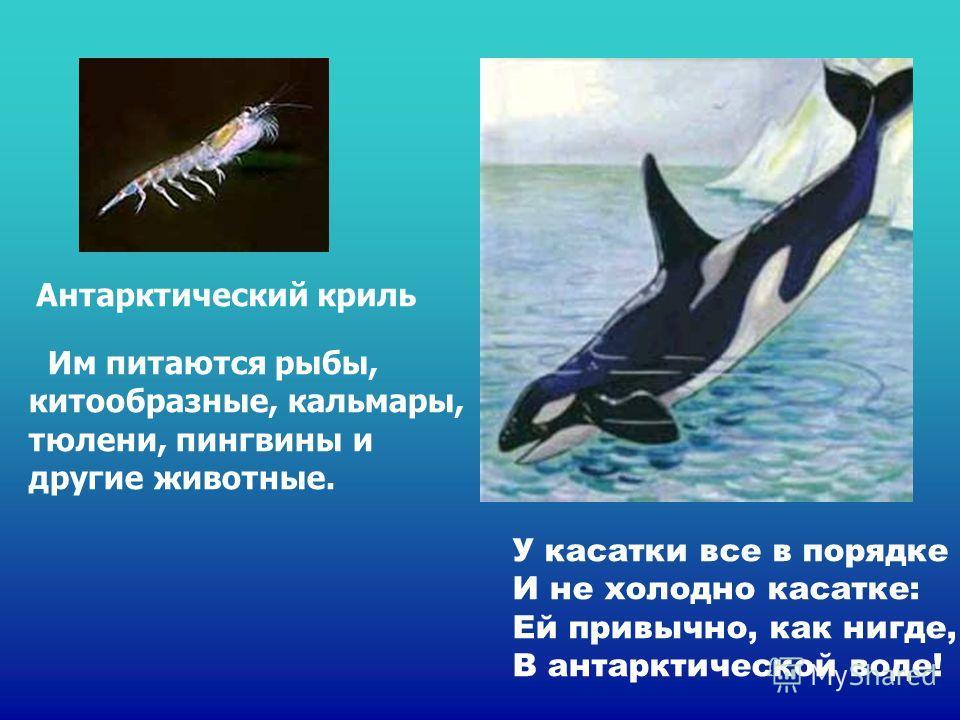 У касатки все в порядке И не холодно касатке: Ей привычно, как нигде, В антарктической воде! Антарктический криль Им питаются рыбы, китообразные, кальмары, тюлени, пингвины и другие животные. У касатки все в порядке И не холодно касатке: ей привычно,