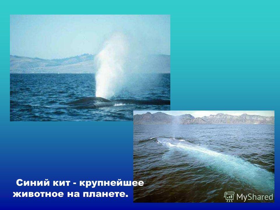 Синий кит - крупнейшее животное на планете. Синий кит - крупнейшее животное на планете.