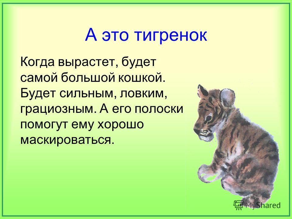 А это тигренок Когда вырастет, будет самой большой кошкой. Будет сильным, ловким, грациозным. А его полоски помогут ему хорошо маскироваться.