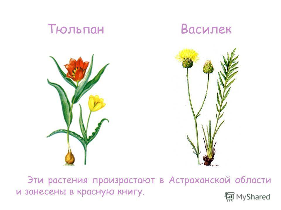 Эти растения произрастают в Астраханской области и занесены в красную книгу. ТюльпанВасилек