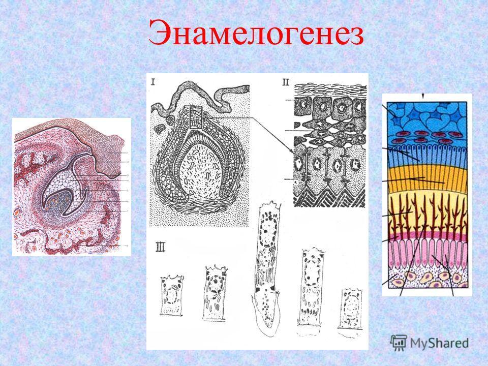 Энамелогенез