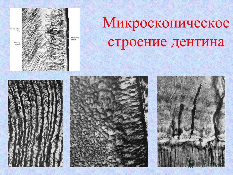 Микроскопическое строение дентина