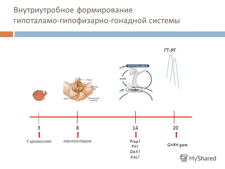 Внутриутробное формирование гипоталамо - гипофизарно - гонадной системы ГТ-РГ 381420 Y хромосоматестостерон Prop1 Pit1 DAX1 KAL1 GNRH gene