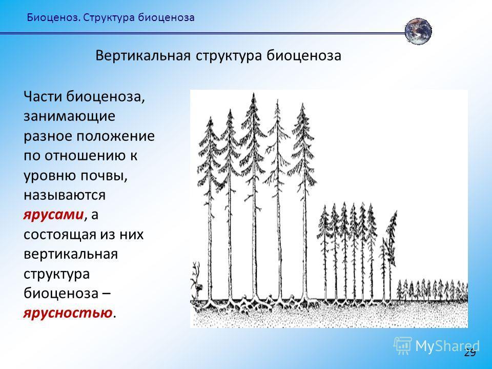 Биоценоз. Структура биоценоза 29 Части биоценоза, занимающие разное положение по отношению к уровню почвы, называются ярусами, а состоящая из них вертикальная структура биоценоза – ярусностью. Вертикальная структура биоценоза