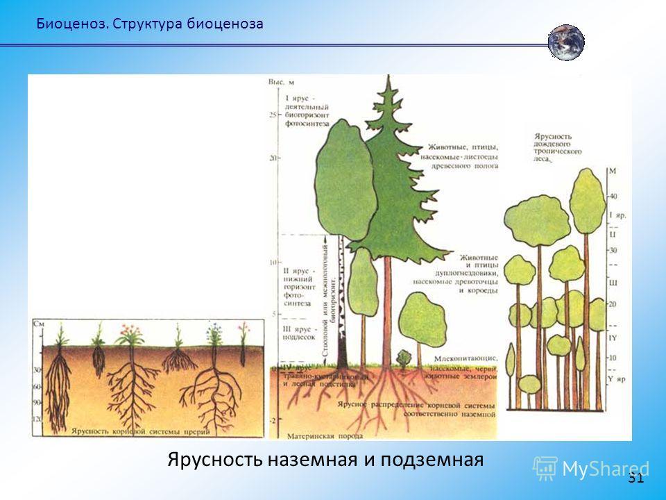 Биоценоз. Структура биоценоза 31 Ярусность наземная и подземная