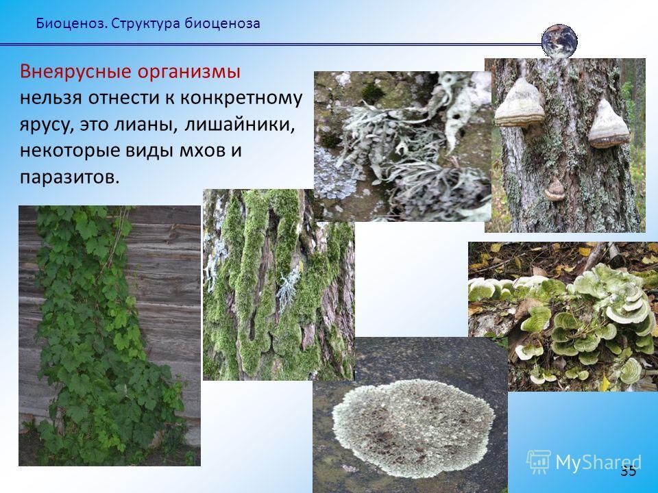 Биоценоз. Структура биоценоза 35 Внеярусные организмы нельзя отнести к конкретному ярусу, это лианы, лишайники, некоторые виды мхов и паразитов.
