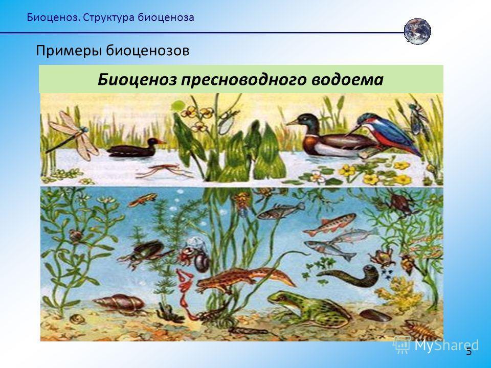 Биоценоз. Структура биоценоза 5 Биоценоз пресноводного водоема Примеры биоценозов