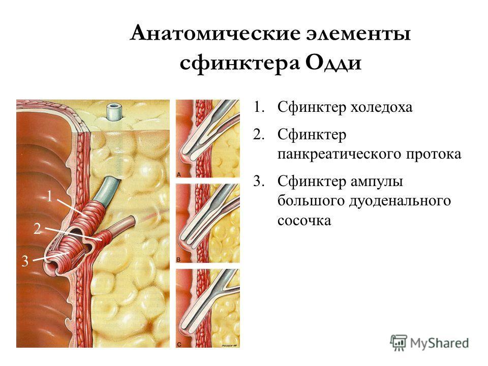 Анатомические элементы сфинктера Одди 1.Сфинктер холедоха 2.Сфинктер панкреатического протока 3.Сфинктер ампулы большого дуоденального сосочка 1 2 3