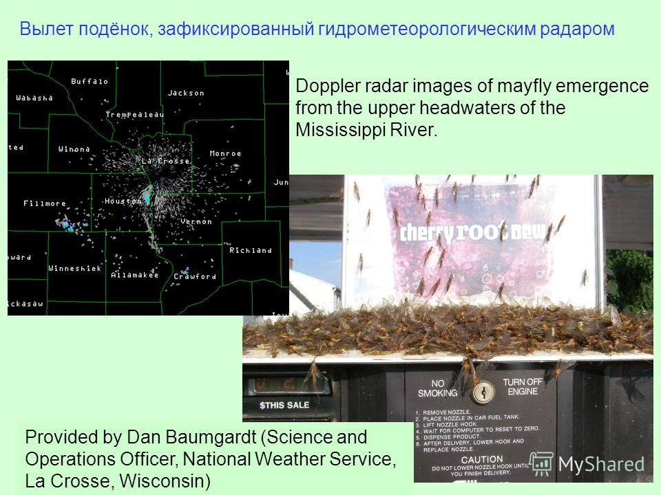Вылет подёнок, зафиксированный гидрометеорологическим радаром Doppler radar images of mayfly emergence from the upper headwaters of the Mississippi River. Provided by Dan Baumgardt (Science and Operations Officer, National Weather Service, La Crosse,