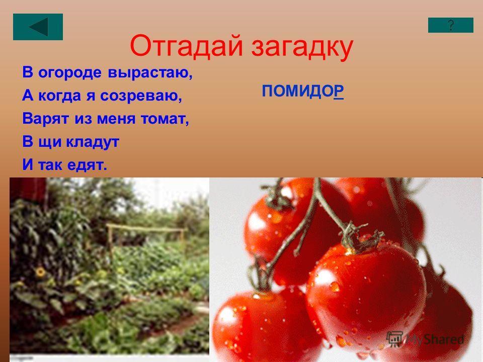 Отгадай загадку В огороде вырастаю, А когда я созреваю, Варят из меня томат, В щи кладут И так едят. ПОМИДОР