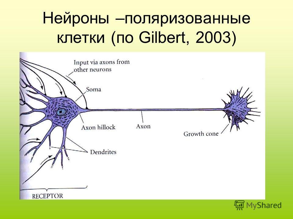 Нейроны –поляризованные клетки (по Gilbert, 2003)