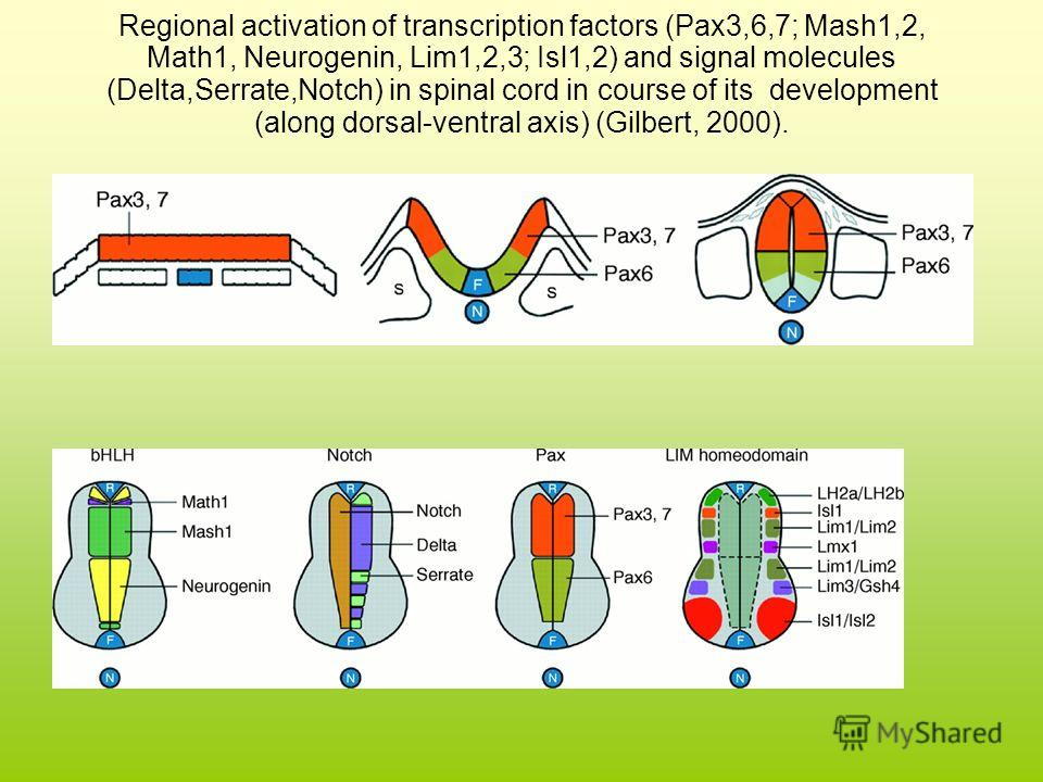 Regional activation of transcription factors (Pax3,6,7; Mash1,2, Math1, Neurogenin, Lim1,2,3; Isl1,2) and signal molecules (Delta,Serrate,Notch) in spinal cord in course of its development (along dorsal-ventral axis) (Gilbert, 2000).