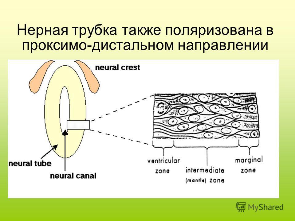 Нерная трубка также поляризована в проксимо-дистальном направлении