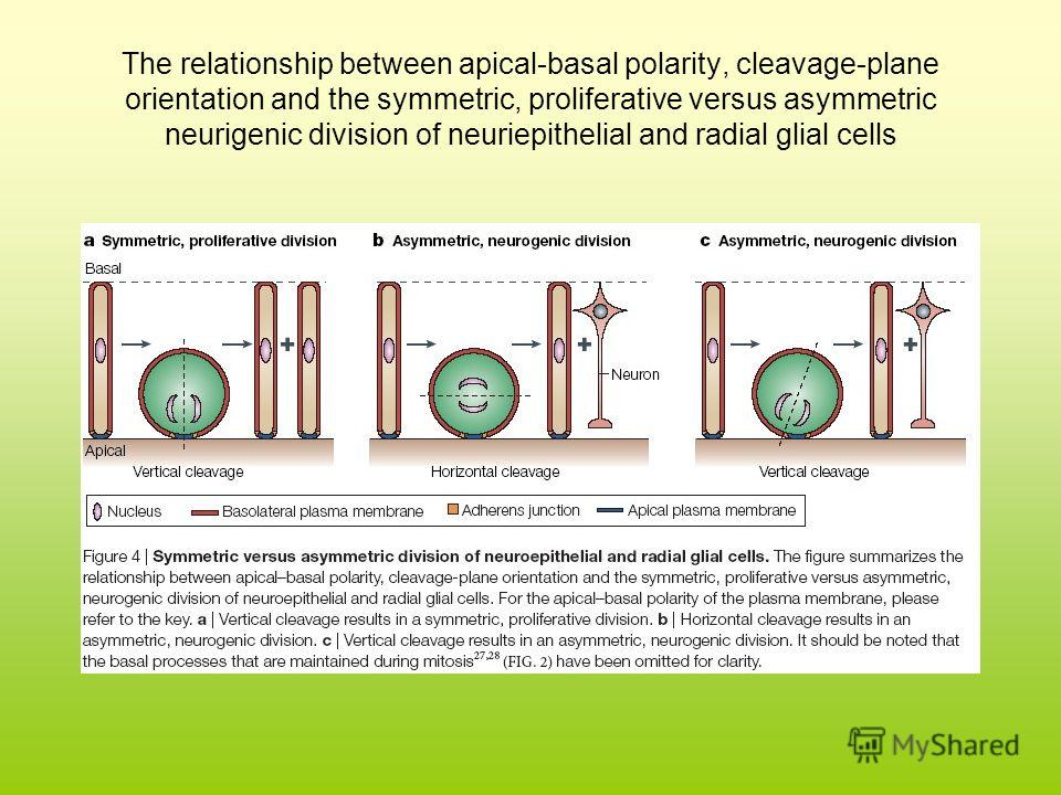 The relationship between apical-basal polarity, cleavage-plane orientation and the symmetric, proliferative versus asymmetric neurigenic division of neuriepithelial and radial glial cells