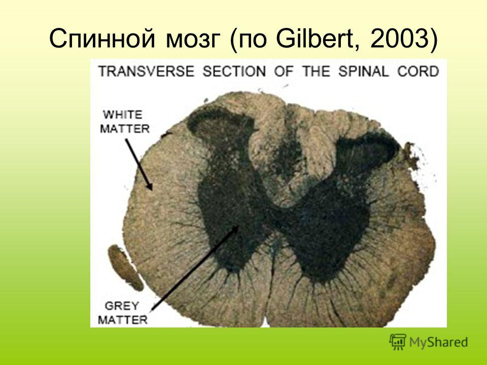 Спинной мозг (по Gilbert, 2003)