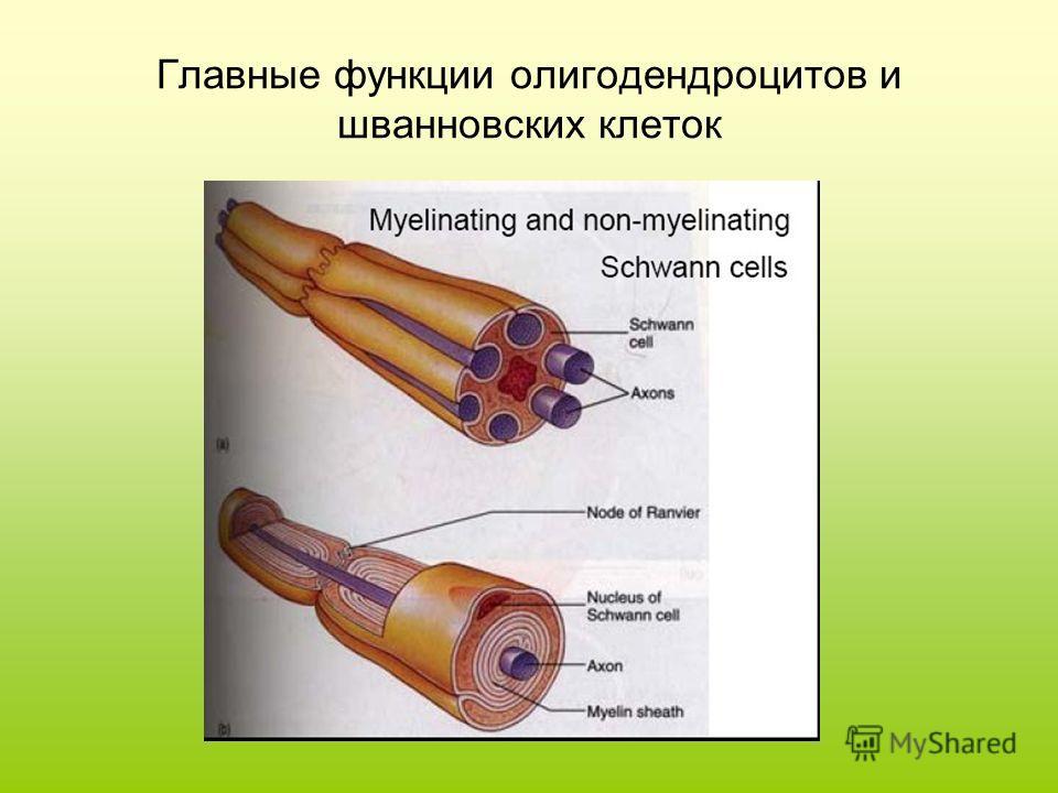 Главные функции олигодендроцитов и шванновских клеток