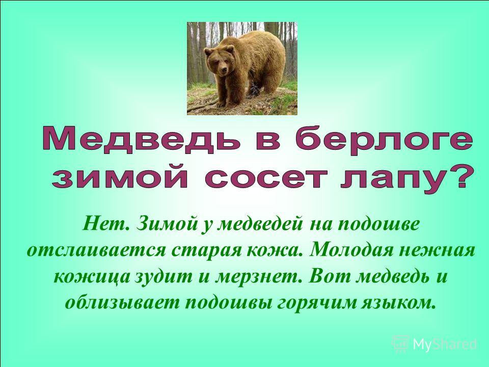 Нет. Зимой у медведей на подошве отслаивается старая кожа. Молодая нежная кожица зудит и мерзнет. Вот медведь и облизывает подошвы горячим языком.