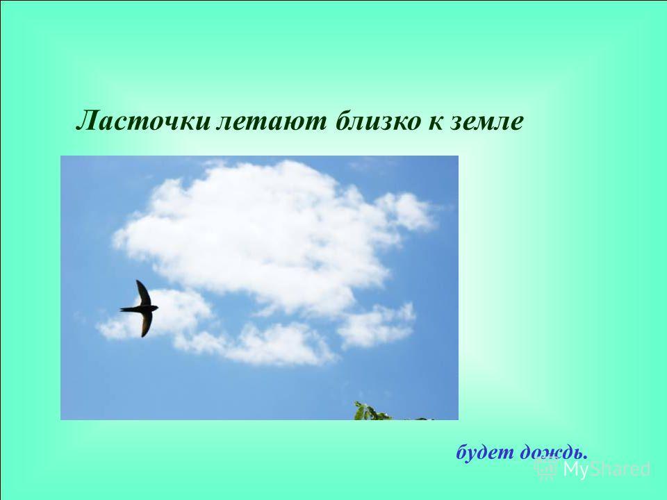 Ласточки летают близко к земле будет дождь.