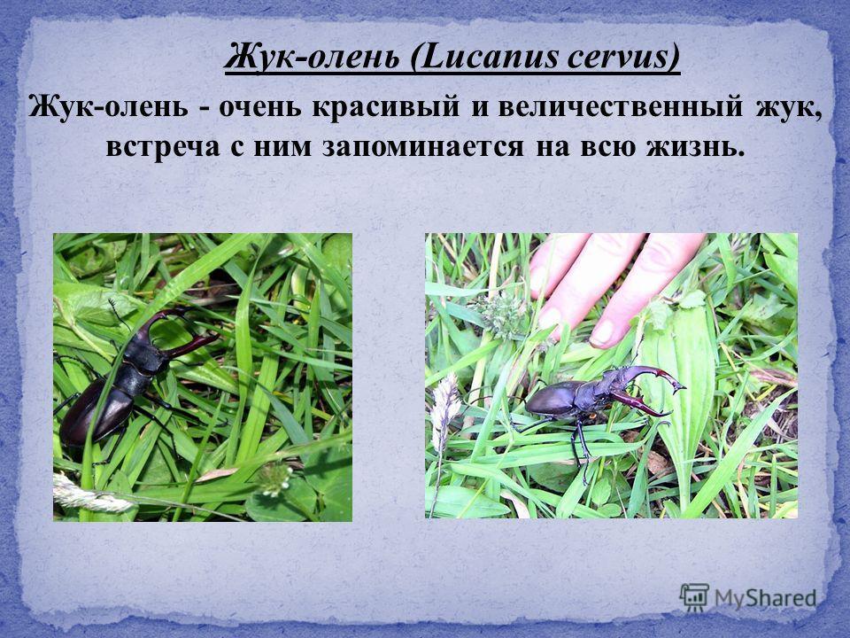 Жук-олень - очень красивый и величественный жук, встреча с ним запоминается на всю жизнь. Жук-олень (Lucanus cervus)