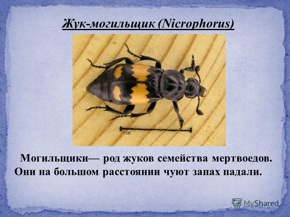 Жук-могильщик (Nicrophorus) Могильщики род жуков семейства мертвоедов. Они на большом расстоянии чуют запах падали.