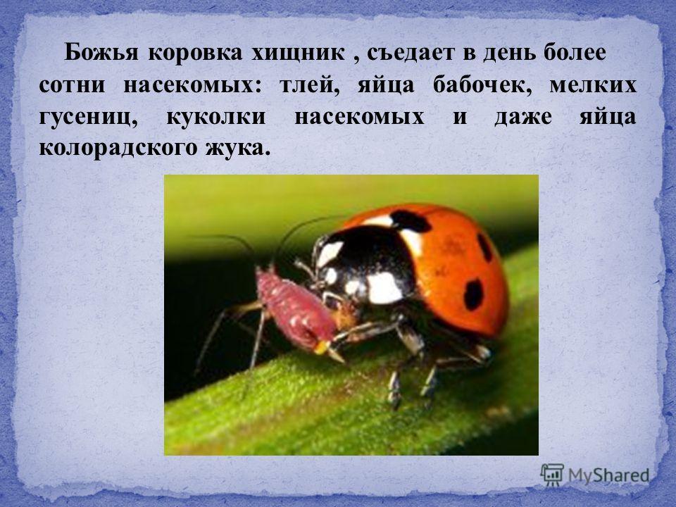 Божья коровка хищник, съедает в день более сотни насекомых: тлей, яйца бабочек, мелких гусениц, куколки насекомых и даже яйца колорадского жука.
