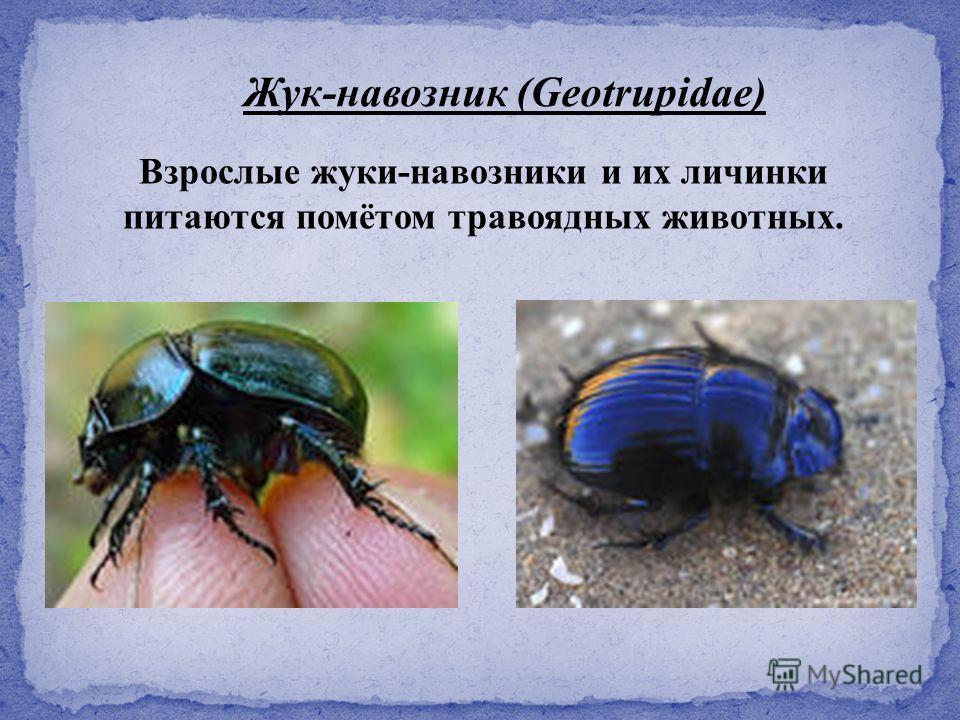 Взрослые жуки-навозники и их личинки питаются помётом травоядных животных. Жук-навозник (Geotrupidae)