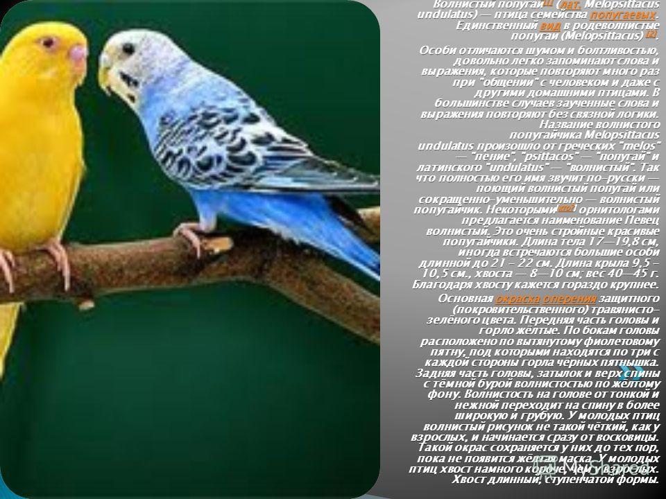 Волнистый попугай [1] (лат. Melopsittacus undulatus) птица семейства попугаевых. Единственный вид в родеволнистые попугаи (Melopsittacus) [2]. [1]лат.попугаевыхвид [2] [1]лат.попугаевыхвид [2] Особи отличаются шумом и болтливостью, довольно легко зап