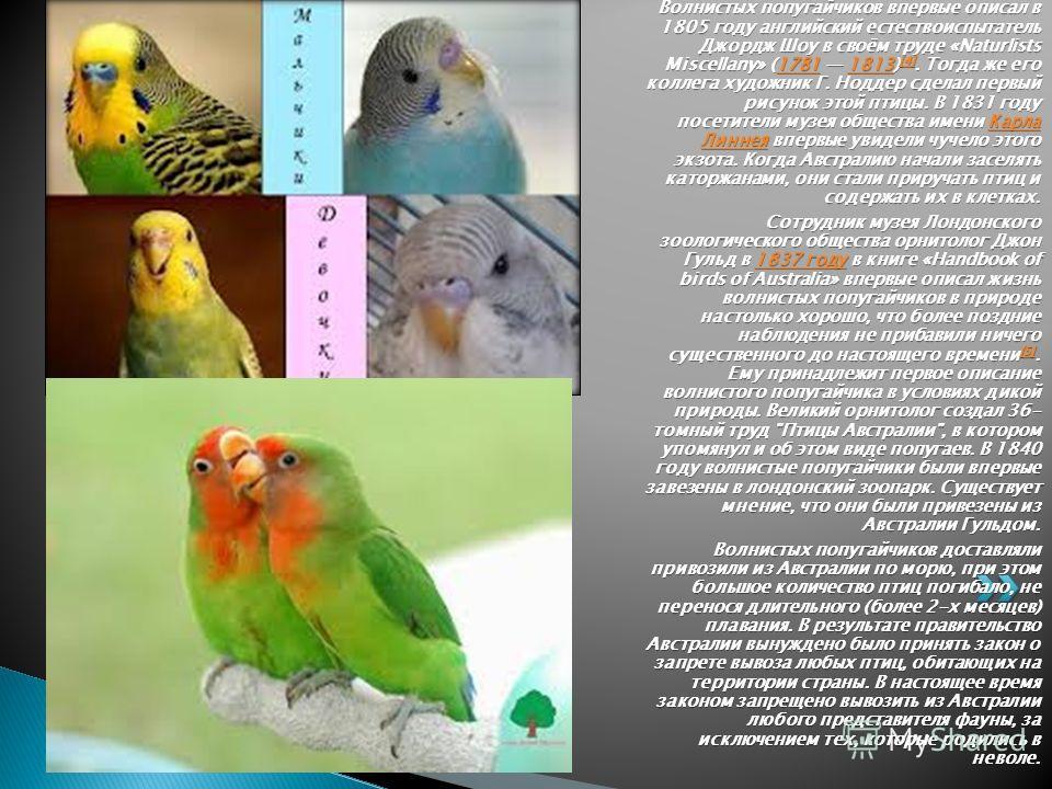 Волнистых попугайчиков впервые описал в 1805 году английский естествоиспытатель Джордж Шоу в своём труде «Naturlists Miscellany» (1781 1813) [4]. Тогда же его коллега художник Г. Ноддер сделал первый рисунок этой птицы. В 1831 году посетители музея о
