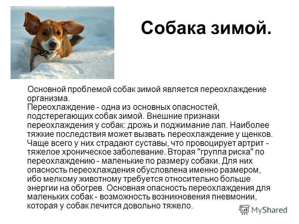 Собака зимой. Основной проблемой собак зимой является переохлаждение организма. Переохлаждение - одна из основных опасностей, подстерегающих собак зимой. Внешние признаки переохлаждения у собак: дрожь и поджимание лап. Наиболее тяжкие последствия мож