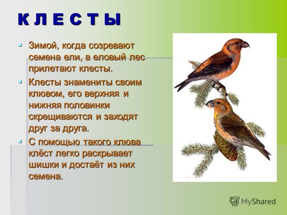 К Л Е С Т Ы Зимой, когда созревают семена ели, в еловый лес прилетают клесты. Зимой, когда созревают семена ели, в еловый лес прилетают клесты. Клесты знамениты своим клювом, его верхняя и нижняя половинки скрещиваются и заходят друг за друга. Клесты