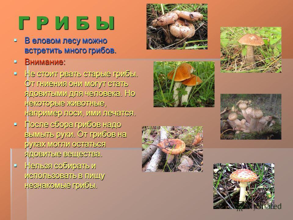 Г Р И Б Ы В еловом лесу можно встретить много грибов. В еловом лесу можно встретить много грибов. Внимание: Внимание: Не стоит рвать старые грибы. От гниения они могут стать ядовитыми для человека. Но некоторые животные, например лоси, ими лечатся. Н