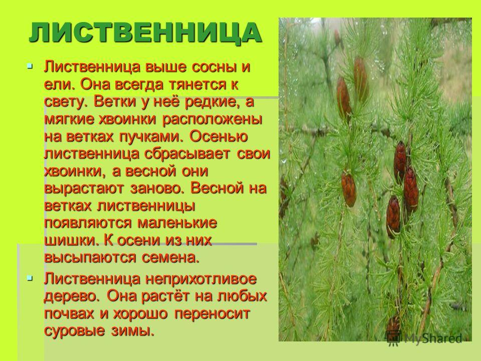 ЛИСТВЕННИЦА Лиственница выше сосны и ели. Она всегда тянется к свету. Ветки у неё редкие, а мягкие хвоинки расположены на ветках пучками. Осенью лиственница сбрасывает свои хвоинки, а весной они вырастают заново. Весной на ветках лиственницы появляют