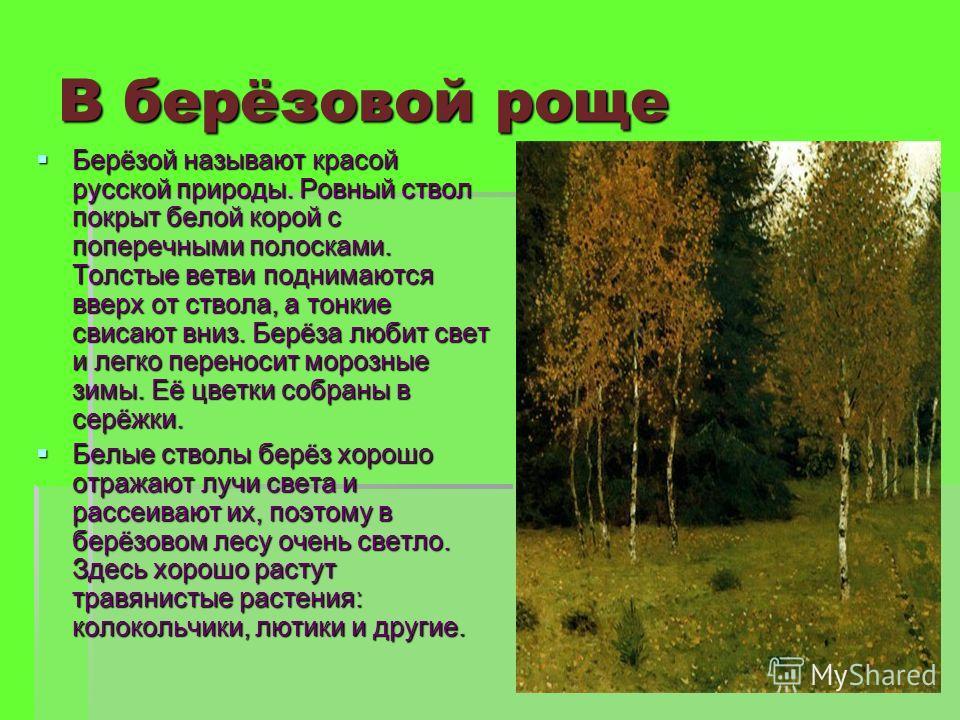 В берёзовой роще Берёзой называют красой русской природы. Ровный ствол покрыт белой корой с поперечными полосками. Толстые ветви поднимаются вверх от ствола, а тонкие свисают вниз. Берёза любит свет и легко переносит морозные зимы. Её цветки собраны