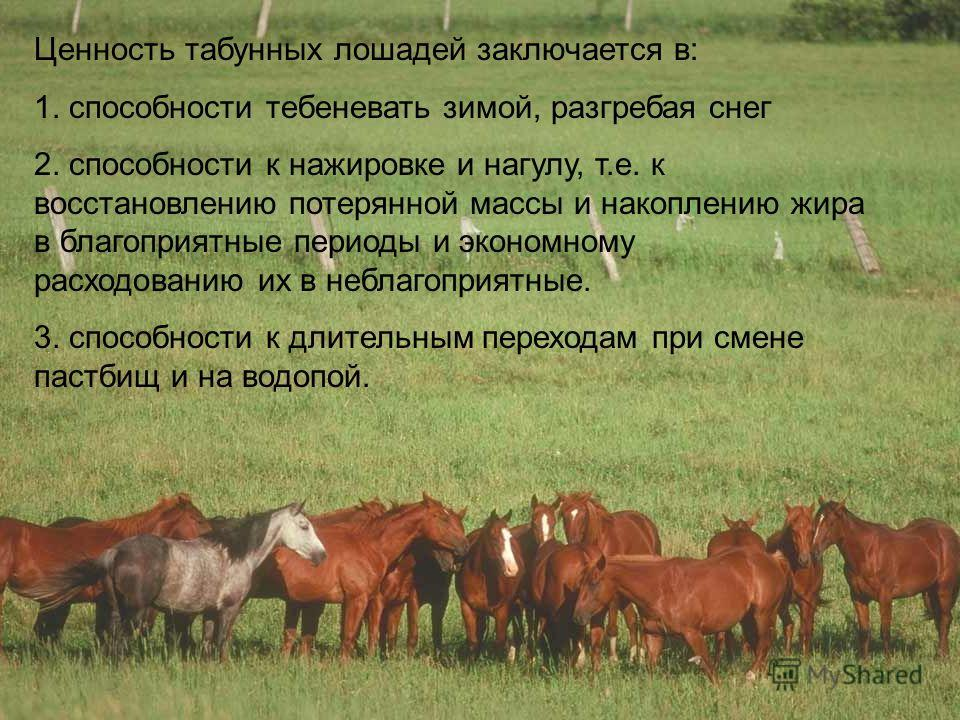 Ценность табунных лошадей заключается в: 1. способности тебеневать зимой, разгребая снег 2. способности к нажировке и нагулу, т.е. к восстановлению потерянной массы и накоплению жира в благоприятные периоды и экономному расходованию их в неблагоприят