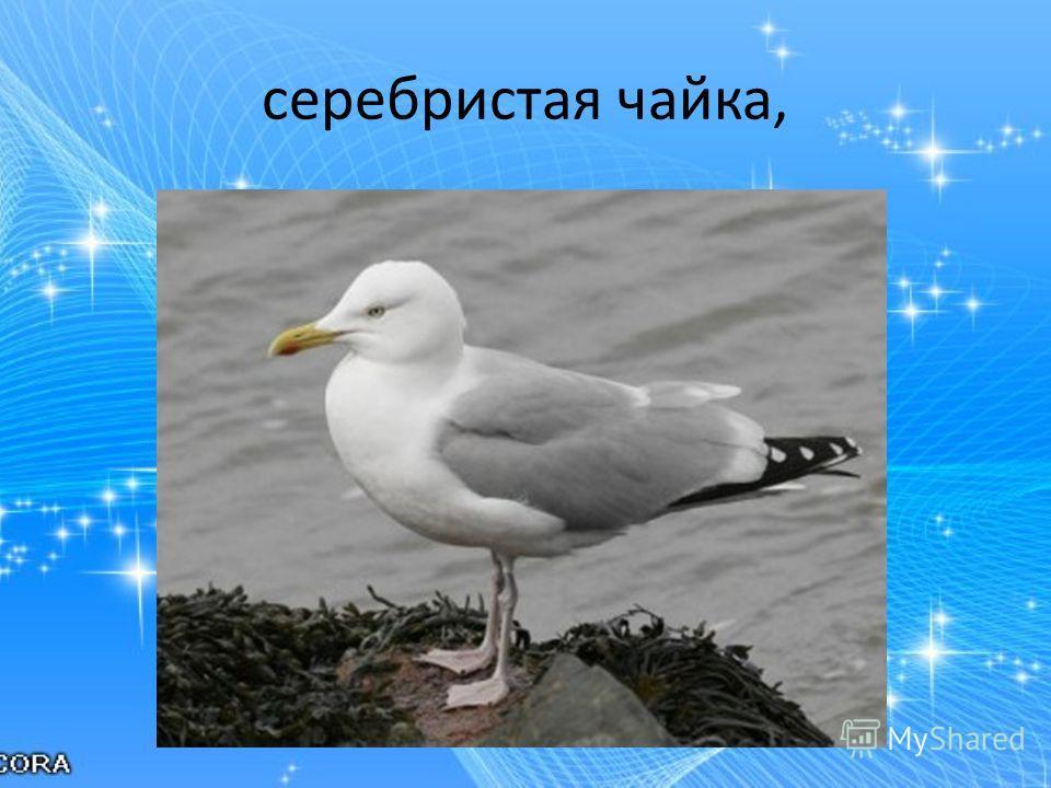 серебристая чайка,