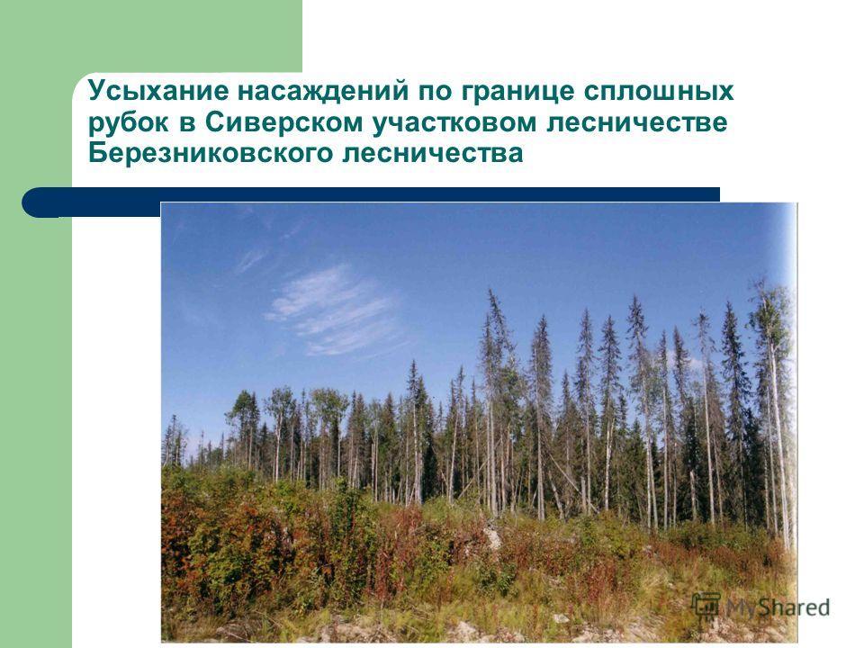Усыхание насаждений по границе сплошных рубок в Сиверском участковом лесничестве Березниковского лесничества