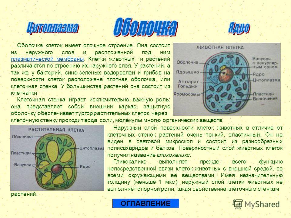 ОГЛАВЛЕНИЕ Оболочка клеток имеет сложное строение. Она состоит из наружного слоя и распложенной под ним плазматической мембраны. Клетки животных и растений различаются по строению их наружного слоя. У растений, а так же у бактерий, сине-зелёных водор