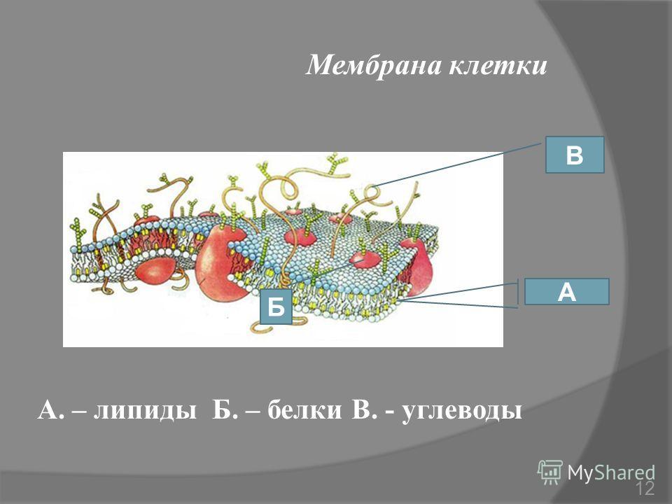 А. – липиды Б. – белки В. - углеводы Мембрана клетки А Б В 12