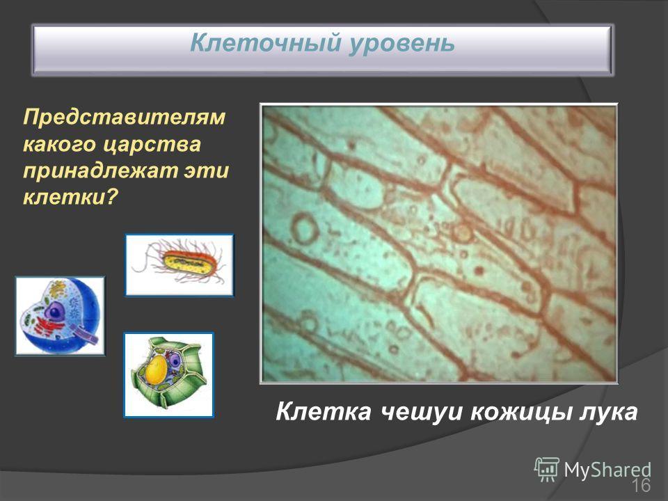 Клеточный уровень Клетка чешуи кожицы лука Представителям какого царства принадлежат эти клетки? 16