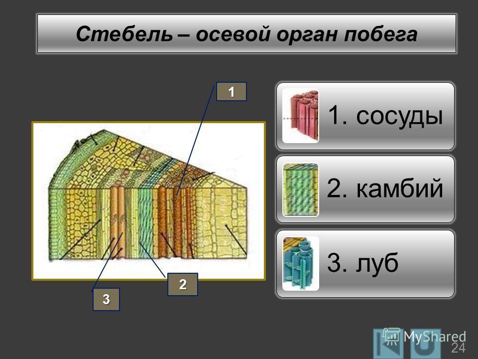 Стебель – осевой орган побега 1. сосуды 2. камбий 3. луб1 2 3 24