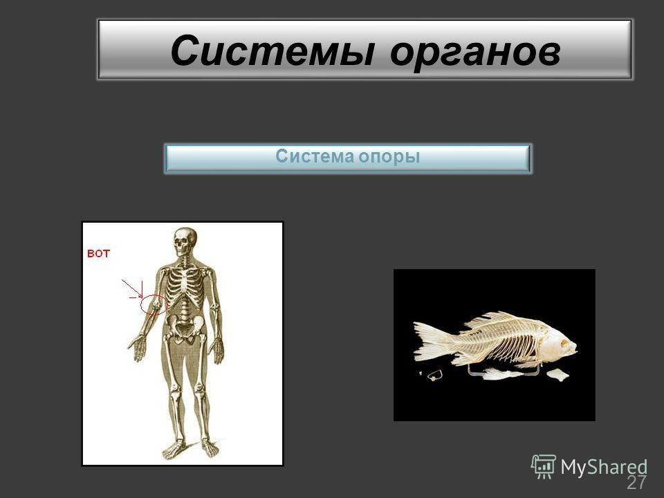 Системы органов 27