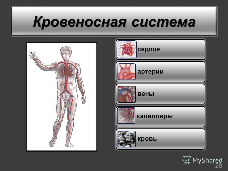 Кровеносная система сердце артерии вены капилляры кровь 28