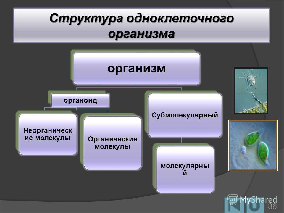 Структура одноклеточного организма организм органоид Неорганическ ие молекулы Органические молекулы Субмолекулярный молекулярны й 36