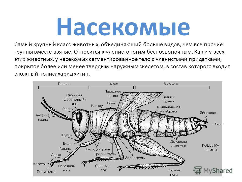 Насекомые Самый крупный класс животных, объединяющий больше видов, чем все прочие группы вместе взятые. Относится к членистоногим беспозвоночным. Как и у всех этих животных, у насекомых сегментированное тело с членистыми придатками, покрытое более ил