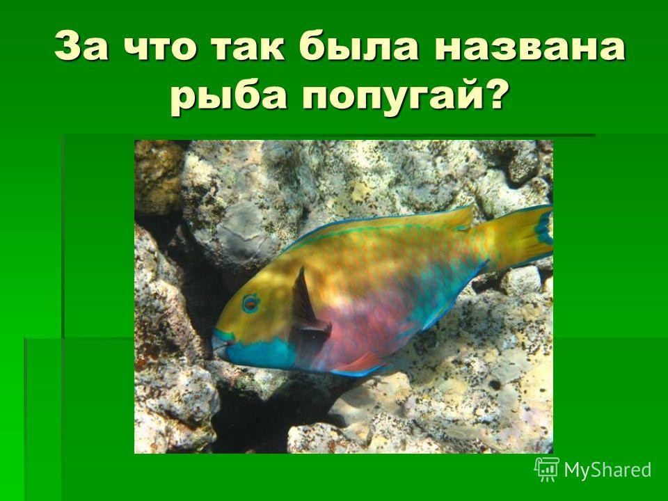 За что так была названа рыба попугай?