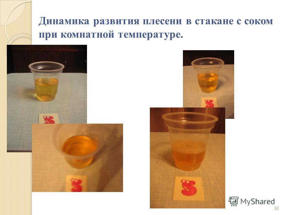 Динамика развития плесени в стакане с соком при комнатной температуре. 36