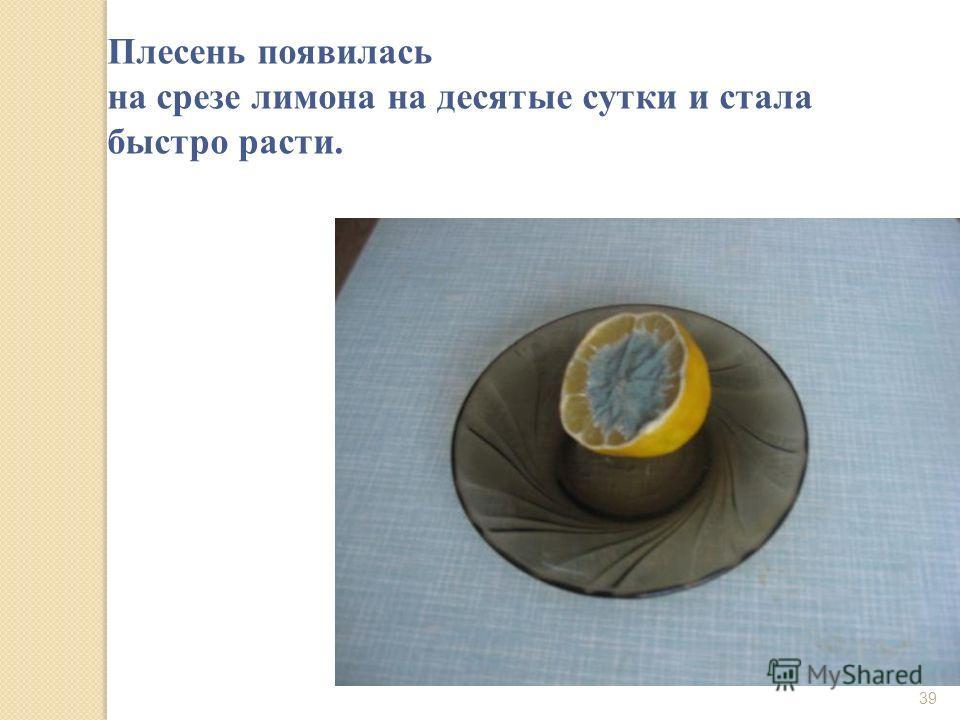 Плесень появилась на срезе лимона на десятые сутки и стала быстро расти. 39