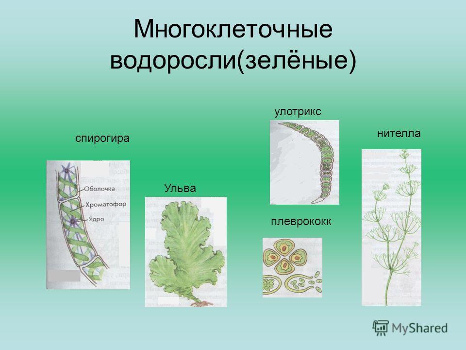 Многоклеточные водоросли(зелёные) спирогира нителла улотрикс Ульва плеврококк